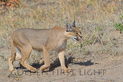 Caracal, Kenya