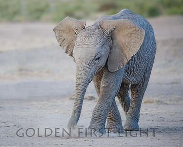 Elephant at Amboseli Kenya
