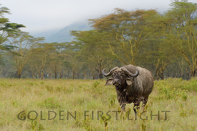 Cape Buffalo, Kenya