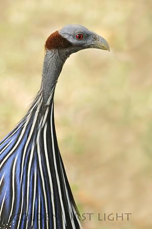 Vulture Guineafowl. Kenya