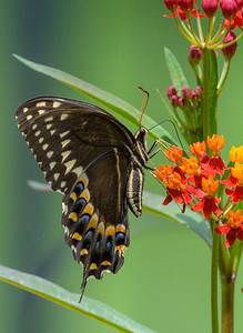 Swallowtail and Milkweed