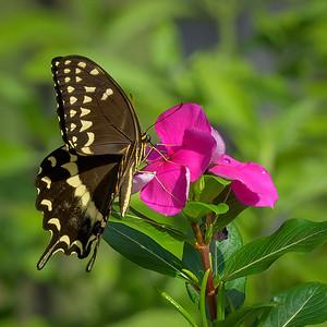 Swallowtail and Vincas