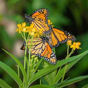 Monarchs and Milkweed!
