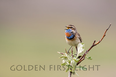 Bluethroat, Nome Alaska