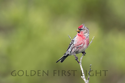 Common Redpoll, Nome Alaska