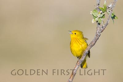 Yellow Warbler, Nome Alaska