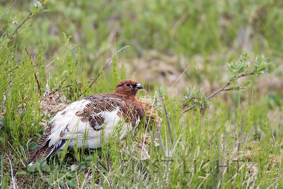 Willow Ptarmigan, Nome Alaska