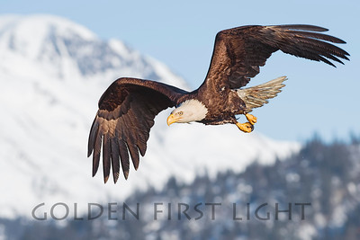 Bald Eagle, Homer Alaska