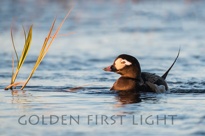 Long-tailed Duck, Nome Alaska