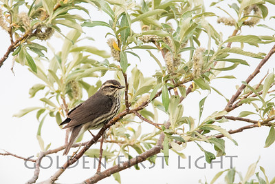 Northern Waterthrush, Nome Alaska