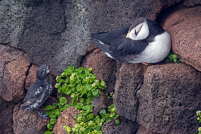 Least Auklet & Horned Puffin, St Paul Alaska