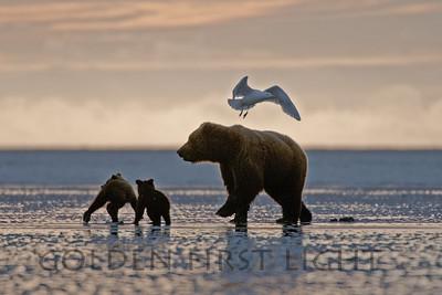 Alaska Brown Bear, Lake Clark National Park