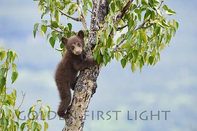 Black Bear Cub, Jasper National Park