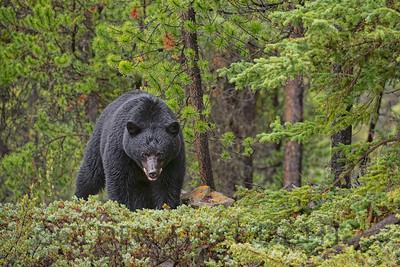 Male Black Bear, Jasper National Park