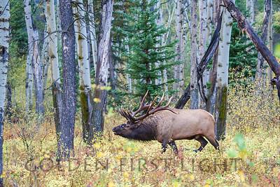 Elk in Aspen, Jasper National Park
