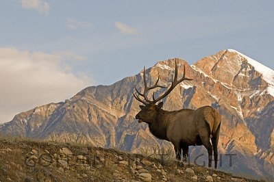 Elk and Pyramid Mountain, Jasper National Park