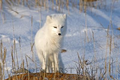 Arctic Fox, Churchill Canada