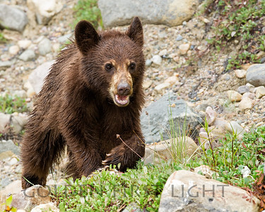 Cinnamon Black Bear Cub, Jasper National Park