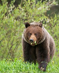 Grizzly Bear, Jasper National Park