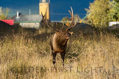 Elk, Japser National Park