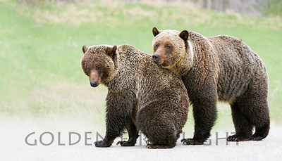 Grizzly Mating Pair, Jasper National Park