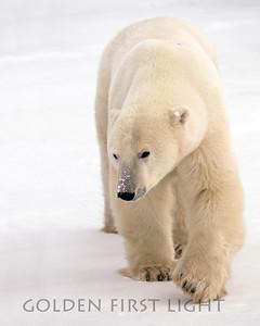 Polar Bear, Churchill Canada