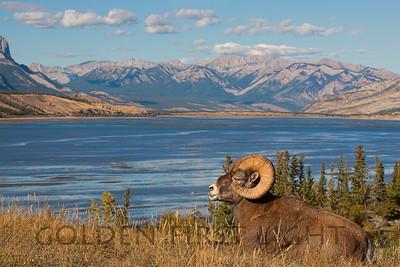 Big Horned Sheep, Jasper National Park Canada