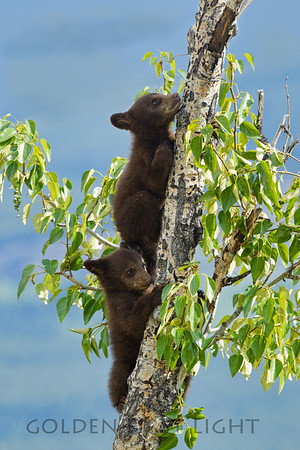 Black Bear Cubs, Jasper National Park
