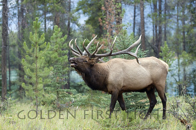 Elk, Jasper National Park