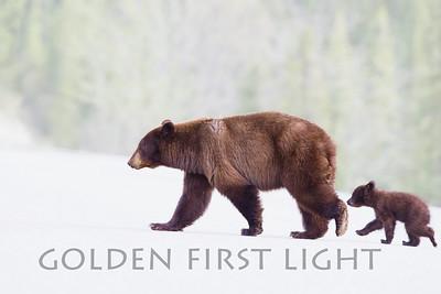 Black Bear and Cub, Jasper National Park