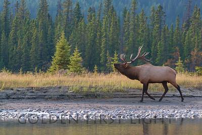 Elk, Jasper National Park Canada
