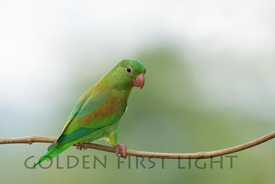 Orange-chinned Parakeet, Costa Rica