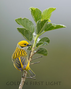 Silver-throated Tanager, Costa Rica