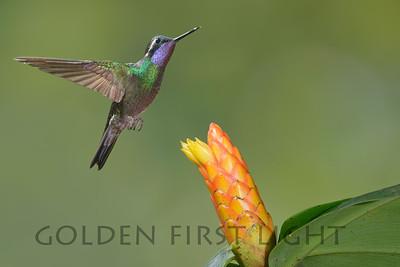 Purple-throated Mountain-gem, Costa Rica