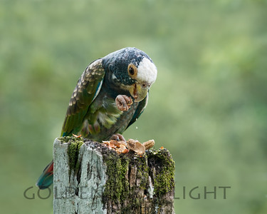 White-crowned Parrot, Costa Rica