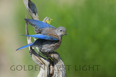 Western Bluebird, central Oregon