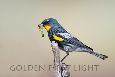 Yellow-rumped Warbler, central Oregon