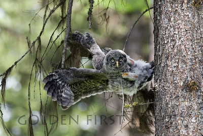 Great Gray Owl, Blue Mountains Oregon