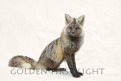 Cascade Red Fox