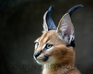 Caracal, Oregon Zoo