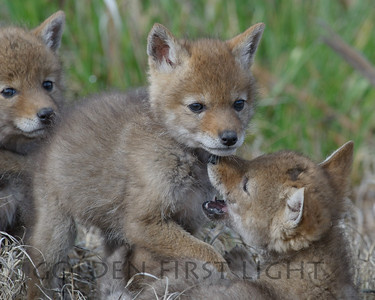 Coyote Pups, Malheur National Wildlife Refuge
