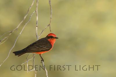 Vermilion Flycatcher, Tucson AZ