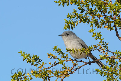 Black-tailed Gnatcatcher, Joshua Tree National Park
