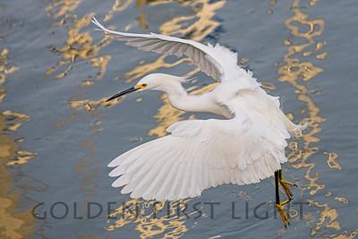 Snowy Egret, Moss Landing CA