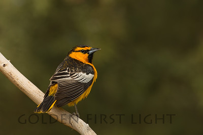 Bullock's Oriole, Tule Lake California