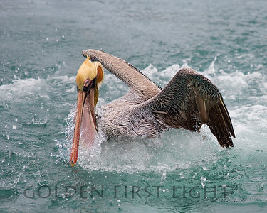 Brown Pelican, Morro Bay California