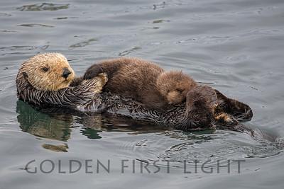 Southern Sea Otter, Morro Bay CA
