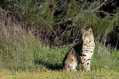 Bobcat, Pinnacles National Park
