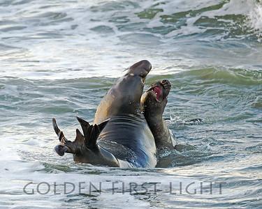 Northern Elephant Seals, Piedras Blancas CA