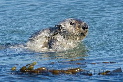 Southern Sea Otter, Morro Bay California